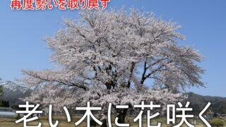 老い木に花咲く