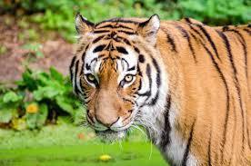 こちらを見る虎