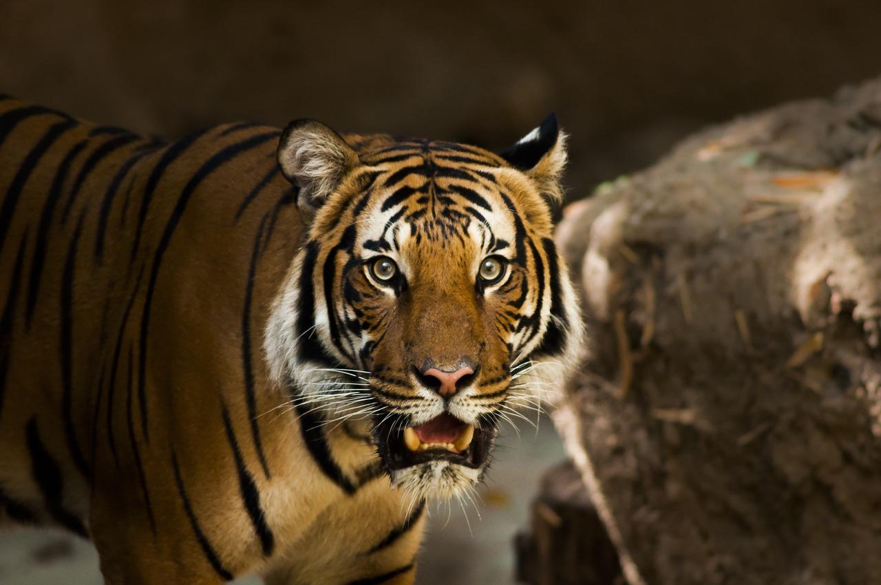 獲物を狙う虎