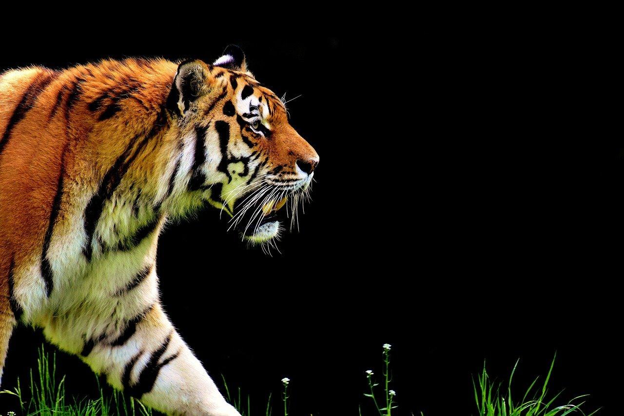 獲物を探して歩く虎